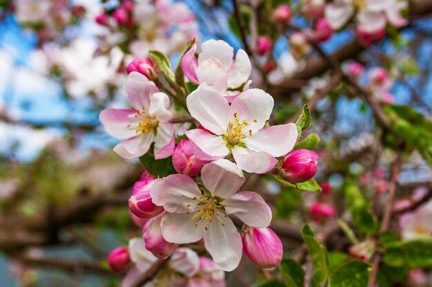 Florescendo lindas flores frágeis e belos botões de flores em um galho separado da macieira