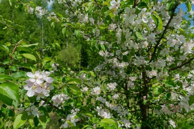 Florescendo macieiras na primavera. galhos de árvores de maçã com flores brancas.