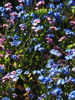 Florescendo, não-me-esqueças. flor de fundo azul-rosa de pequenas flores