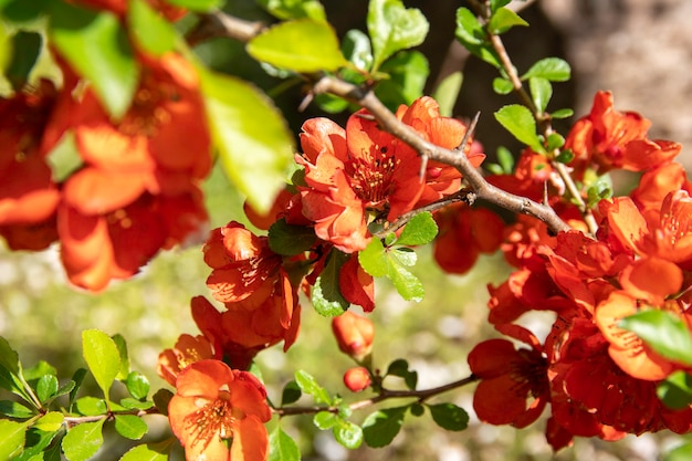 Florescendo o marmelo na primavera flores vermelhas do marmelo chaemnomeles japonica foco seletivo