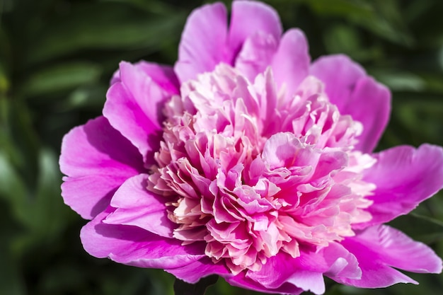 Florescendo peônia rosa no jardim.