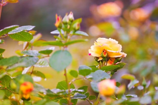Florescendo rosas amarelas ao pôr do sol