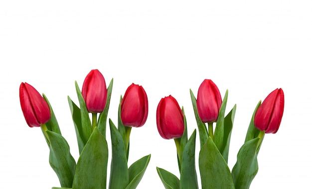 Florescendo tulipas vermelhas com folhas verdes e caule isolado, flores da primavera