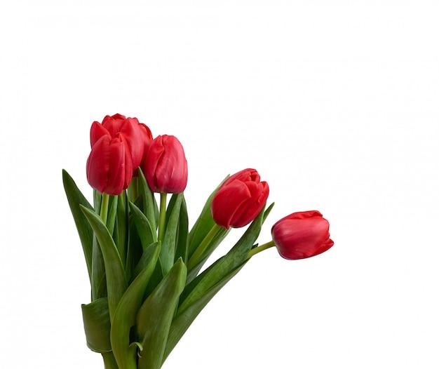 Florescendo tulipas vermelhas com folhas verdes e caule isolado