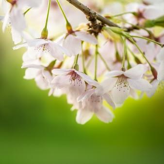 Florescente galhos de árvores com flores brancas, cereja florescendo, primavera, parque na inglaterra, reino unido
