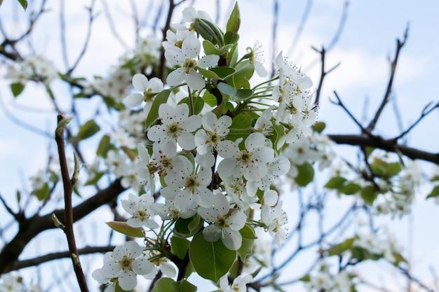 Florescente ramo de pera.pear flor no início da primavera