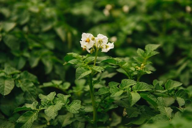 Florescimento de campos de batata