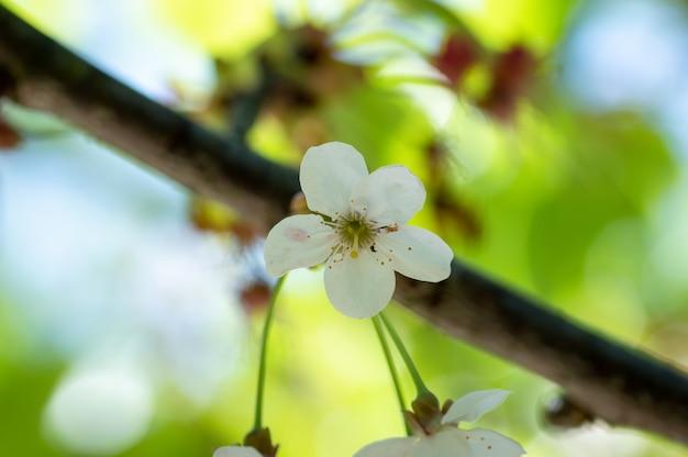 Florescimento, de, cereja, flores, em, primavera, tempo, com, verde sai, macro, quadro