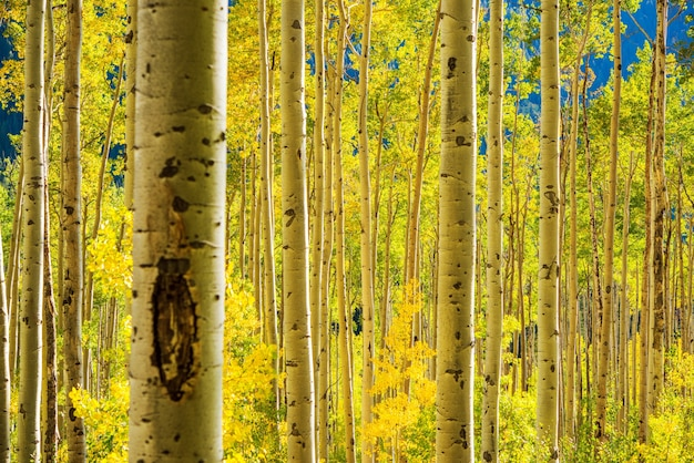 Floresta aspen trees
