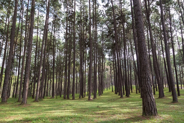 Floresta bonita do pinho com grama verde e luz solar no tempo de mola.
