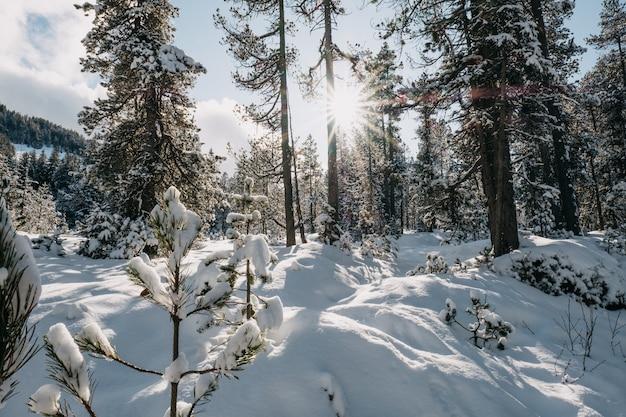 Floresta cercada por árvores cobertas de neve sob o sol no inverno