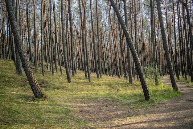 Floresta coberta de grama e árvores altas sob a luz do sol durante o dia