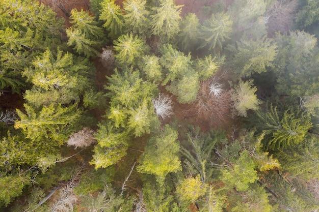 Floresta com árvores coníferas na natureza de primavera de cima parcialmente coberta por névoa.