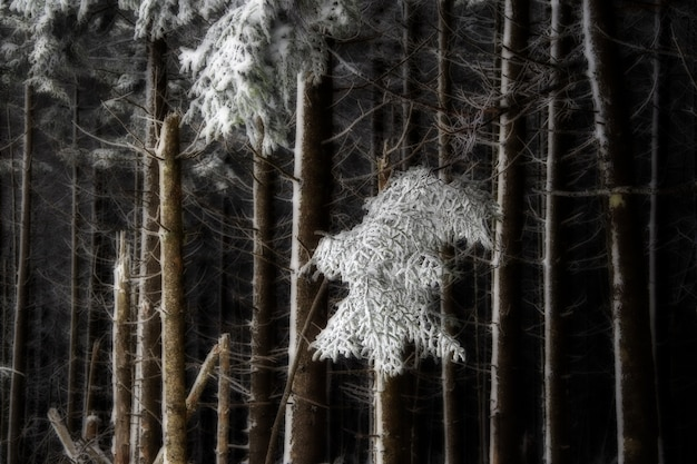 Floresta com árvores sem folhas cobertas de neve