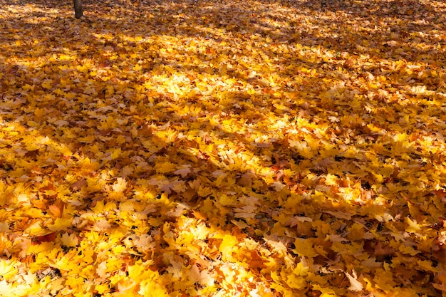 Floresta com folhas caídas no chão, bordos crescem ao redor, caminhe pelo parque durante a estação quente