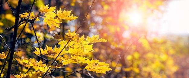 Floresta com folhas de bordo amarelas nas árvores durante o pôr do sol, panorama