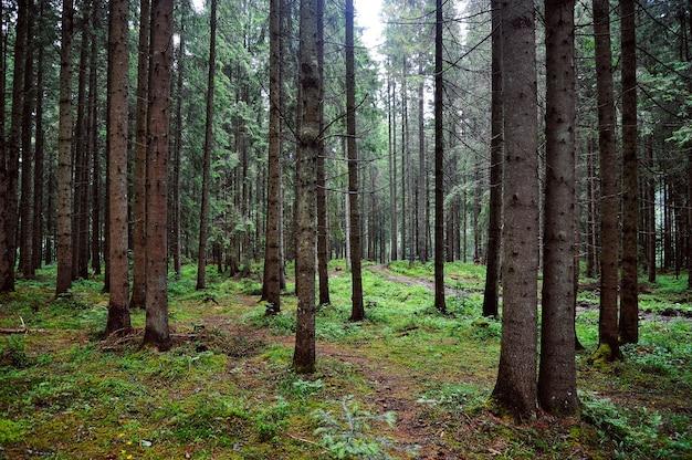 Floresta com grandes abetos e musgo