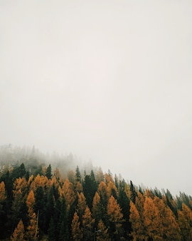 Floresta com lariços multicoloridos durante um tempo de nevoeiro