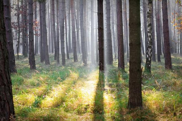 Floresta com luz do sol por entre as árvores na alemanha