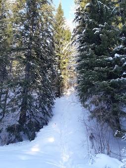 Floresta com pinheiros cobertos de neve no inverno