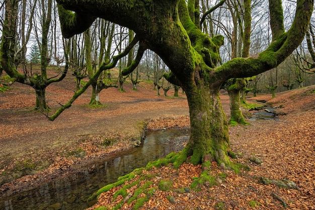 Floresta da faia de otzarreta. parque natural gorbea. bizkaia. espanha.