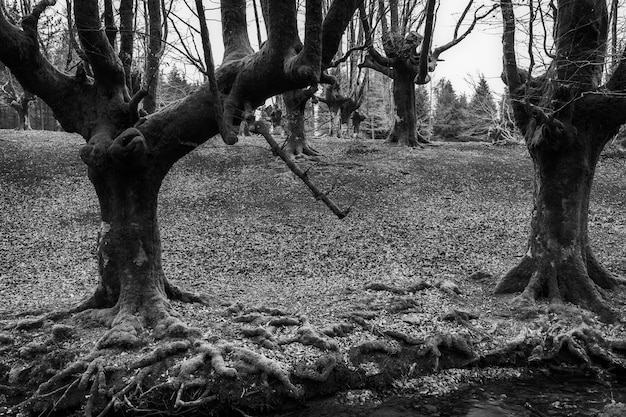 Floresta da faia de otzarreta. parque natural gorbea.