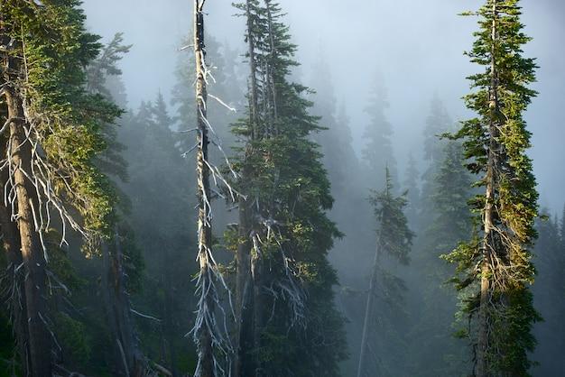Floresta da montanha nevoenta