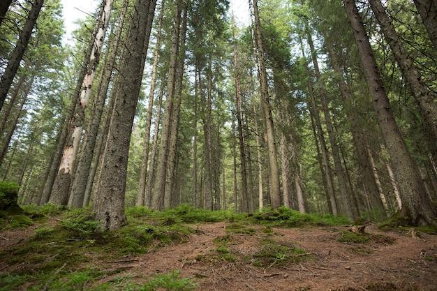 Floresta de abetos verdes nas montanhas. conceito de viagens