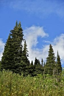 Floresta de alberta