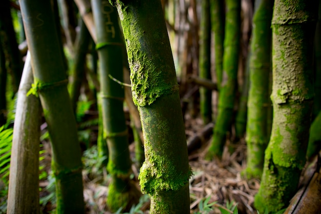 Floresta de árvores de bambu de perto