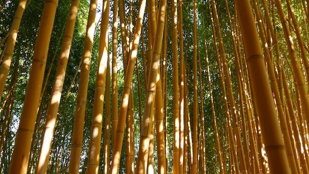 Floresta de bambu, atmosfera tropical asiática exótica. árvores verdes no jardim feng shui zen meditativo. arvoredo calmo e tranquilo, frescura de harmonia matinal em matagal. estética oriental natural japonesa ou chinesa