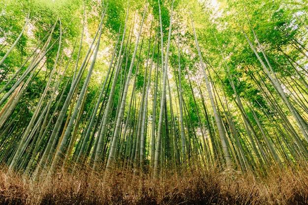 Floresta de bambu bonita no distrito touristy de arashiyama, kyoto, japão