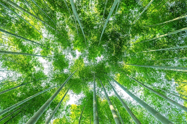 Floresta de bambu. fundo da natureza.