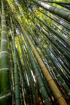 Floresta de bambu, kyoto