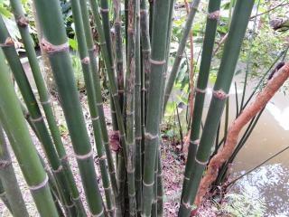 Floresta de bambu verde