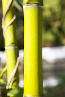 Floresta de bambus. close-up de um talo de bambu, troncos verdes de um bosque de bambu
