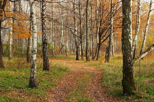 Floresta de bétulas no outono
