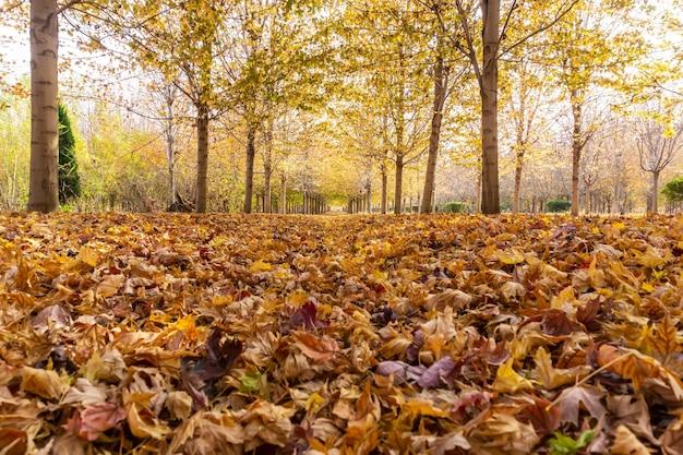 Floresta de bordo de outono em qingdao