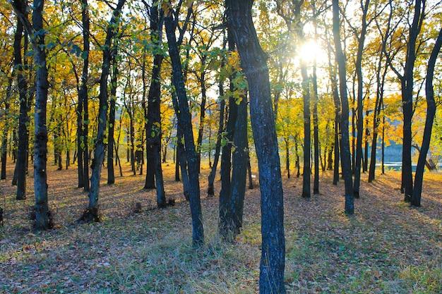 Floresta de carvalho no outono Foto Premium