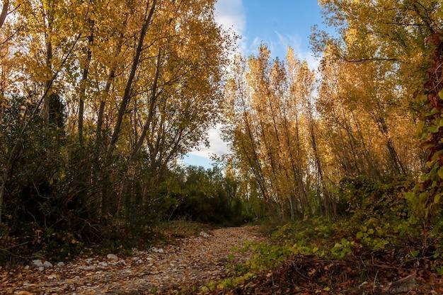 Floresta de choupos com folhas amarelas no outono em alicante, espanha.
