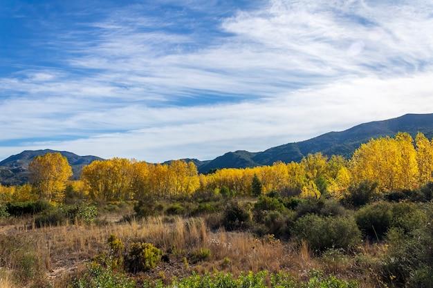 Floresta de choupos com folhas amarelas perto do rio serpis, alicante, espanha. Foto Premium