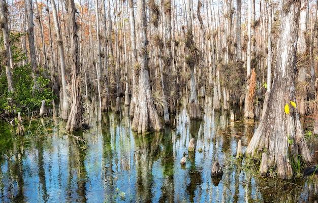 Floresta de ciprestes típica no parque nacional everglades, flórida