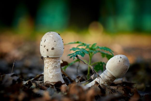 Floresta de cogumelos em close-up de folhagem de outono.