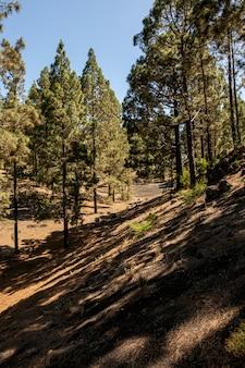 Floresta de coníferas com céu claro