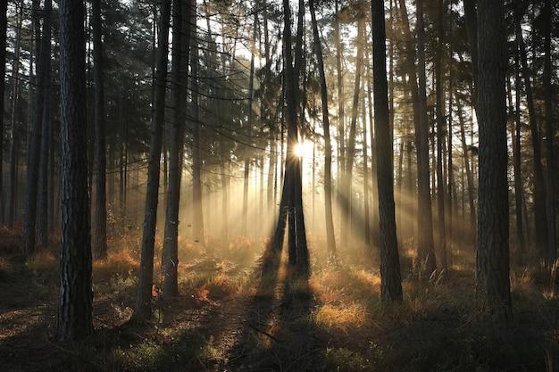 Floresta de coníferas de outono em uma manhã de nevoeiro