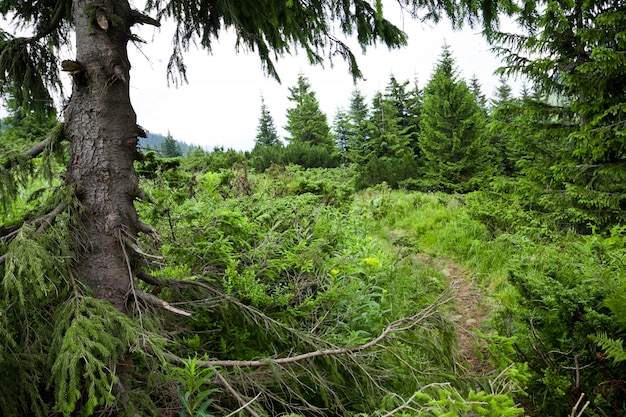 Floresta de coniféras