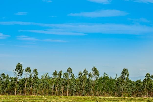 Floresta de eucalipto na tailândia, planos para indústria de papel