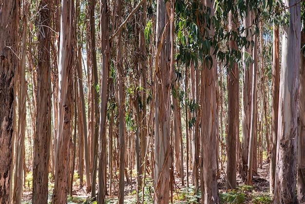 Floresta de eucalipto plantada para a indústria madeireira