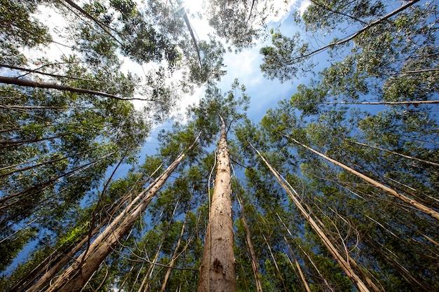 Floresta de eucalipto vista de baixo para cima