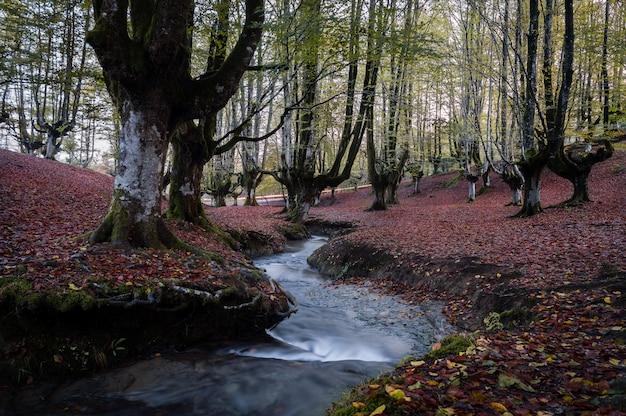 Floresta de faia colorida, com um bom fluxo passando entre as grandes árvores
